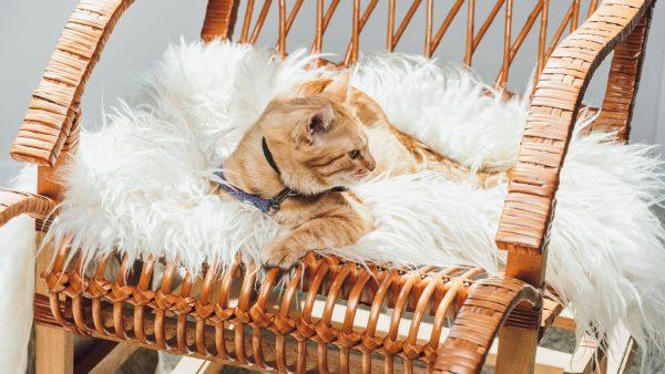 gato-sobre-alfombra