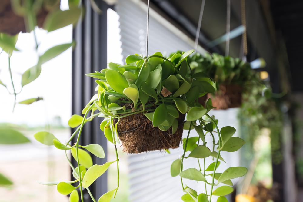 Planta colgante